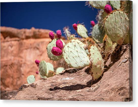 Prickly Pear (opuntia Sp.) In Fruit Canvas Print by Michael Szoenyi