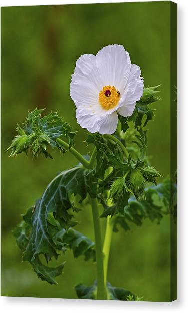 Prickly Poppy Canvas Print