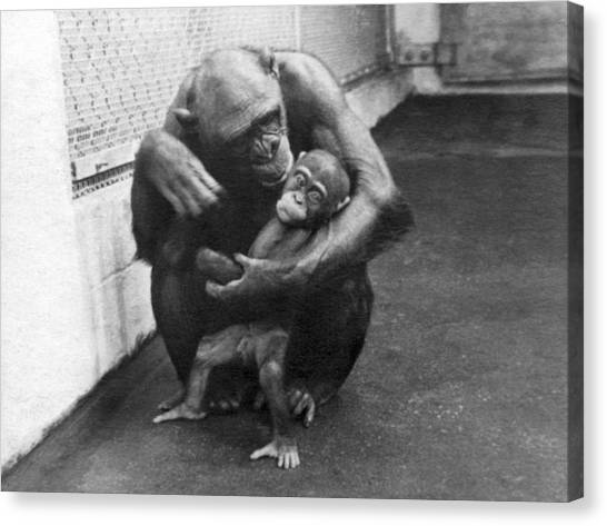 Yale Canvas Print - Primate Discipline by Underwood Archives