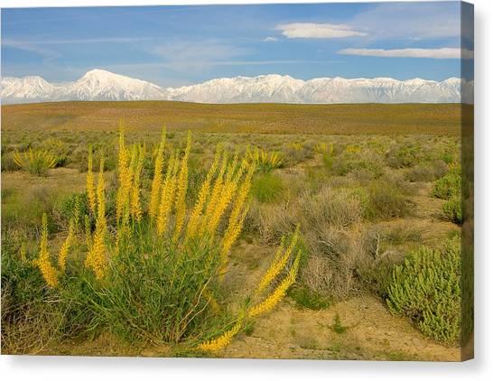 Princes Plume And Mount Tom - Spring Wildflowers Owens Valley Eastern Sierra California Canvas Print