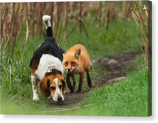 Beagles Canvas Print - Probably The World's Worst Hunting Dog by Mircea Costina Photography
