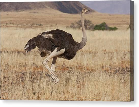 Namib Desert Canvas Print - Profile Of Walking Ostrich, Namib by Jaynes Gallery
