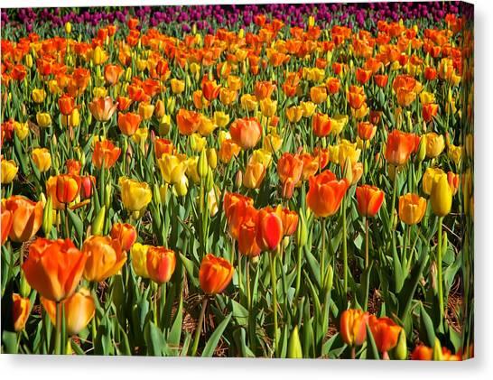 Profusion Of Tulips Biltmore Estate Nc Canvas Print