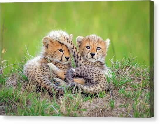 Cheetahs Canvas Print - Promising by Roshkumar
