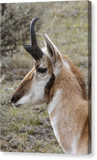 Pronghorn Buck Profile Canvas Print by Jill Bell