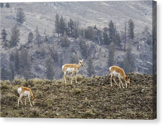 Pronghorn Does Canvas Print by Jill Bell