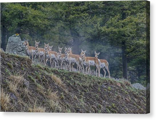 Pronghorn Canvas Print by Gary Hall