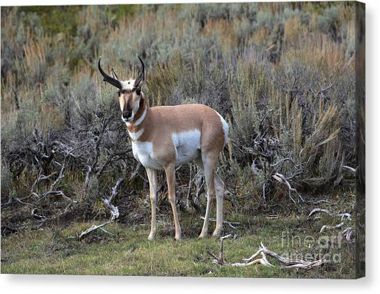 John Greco Canvas Print - Pronghorn by John Greco