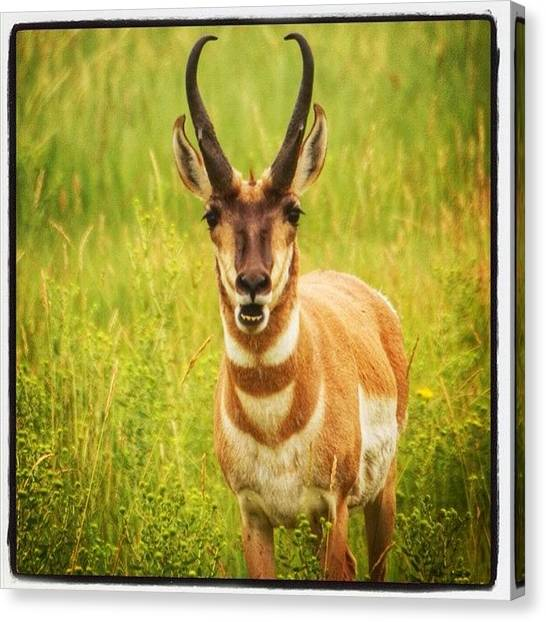Large Mammals Canvas Print - Pronghorn Trying To Speak To Me by Heidi Hermes