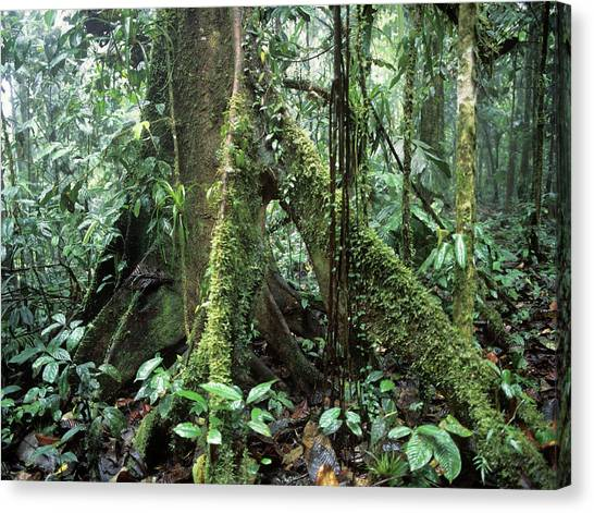 Amazon Rainforest Canvas Print - Prop Roots by Dr Morley Read/science Photo Library