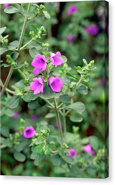 Lilac Bush Canvas Print - Prostanthera Rotundifolia by Anthony Cooper/science Photo Library