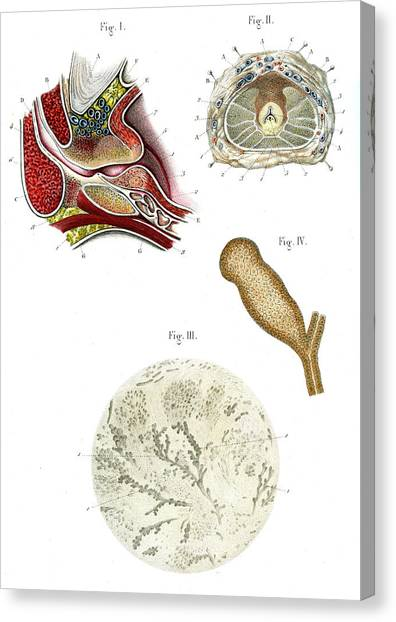 Prostate Anatomy Canvas Print by Collection Abecasis
