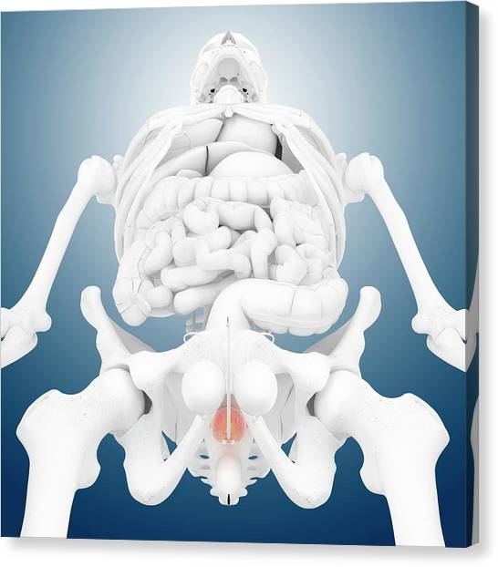 Groin Canvas Print - Prostate Gland by Springer Medizin