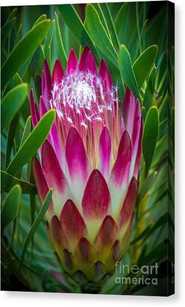 Canvas Print featuring the photograph Protea In Pink by Kate Brown