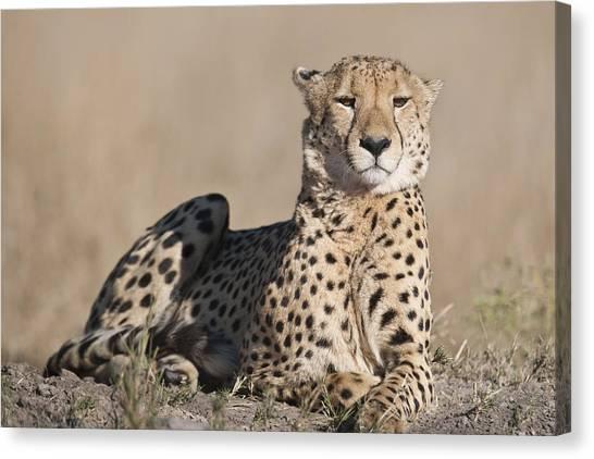 Proud Cheetah Canvas Print