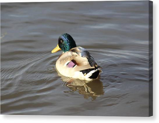 Proud Male Duck Canvas Print