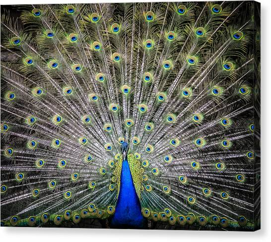 Proud Peacock Canvas Print