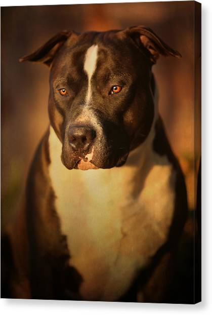 Pit Bull Canvas Print - Proud Pit Bull by Larry Marshall