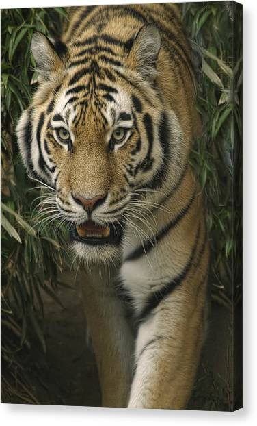 Prowling Canvas Print