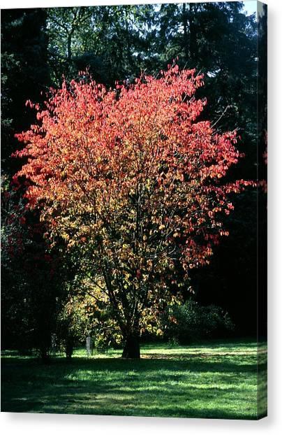Prunus Sp Canvas Print by Chris Dawe/science Photo Library