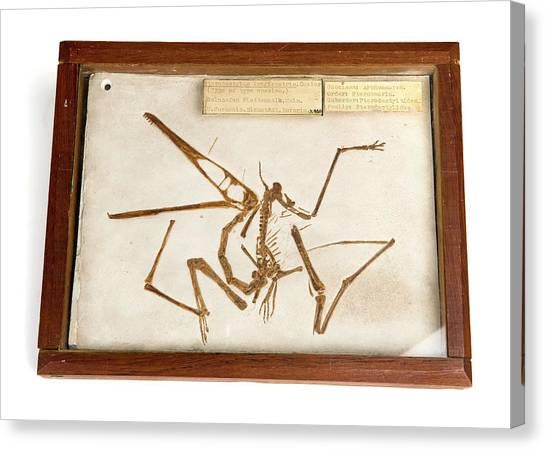 Pterodactyls Canvas Print - Pterodactyl Fossil Cast by Ucl, Grant Museum Of Zoology