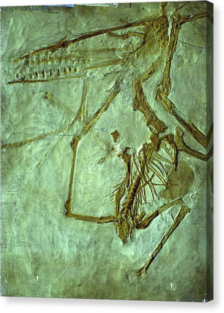 Pterodactyls Canvas Print - Pterodactyl Fossil by Sinclair Stammers/science Photo Library.
