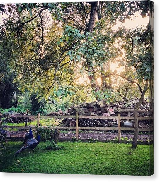 Peacocks Canvas Print - #pub #garden #beergarden #rural by Robyn Chell