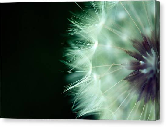Puff Ball 1 Canvas Print