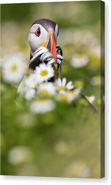Puffins Canvas Print - Puffin & Daisies by Mario Su?rez
