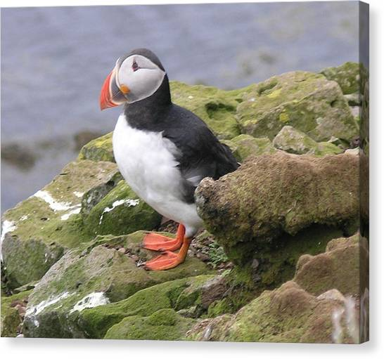 Razorbills Canvas Print - Puffin by Olaf Christian