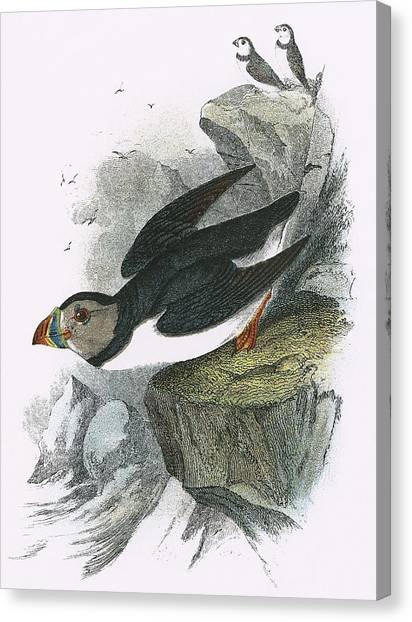 Puffins Canvas Print - Puffin by English School
