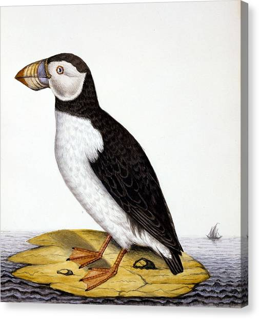 Puffins Canvas Print - Puffin, Marmon Fratercula, Circa 1840 by French School