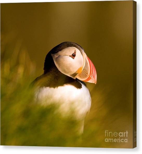 Puffin Portrait Canvas Print by Wayne Bennett