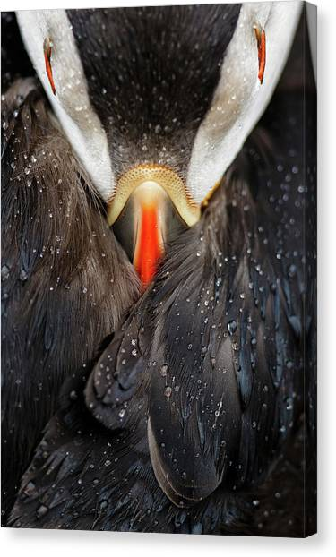 Puffins Canvas Print - Puffin Studio by Mario Su?rez