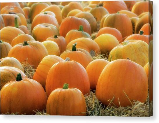 Pumpkin Patch Canvas Print - Pumpkin Patch by Jeremy Walker/science Photo Library