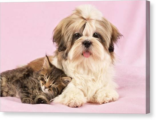 Shih Tzus Canvas Print - Puppy And Kitten by Greg Cuddiford