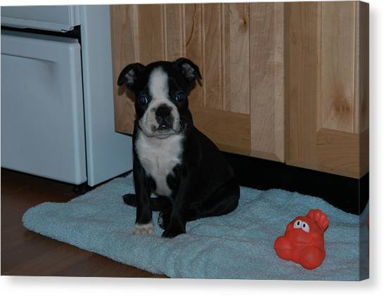 Puppy Boston Terrier And Toy Canvas Print