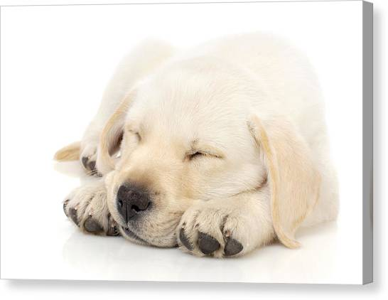 Paw Canvas Print - Puppy Sleeping On Paws by Johan Swanepoel
