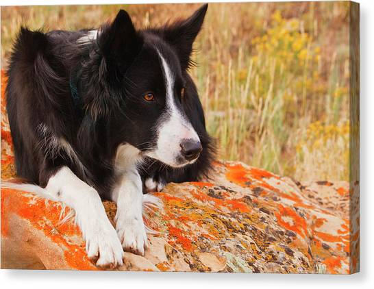 Border Collies Canvas Print - Purebred Border Collie Laying On Moss by Piperanne Worcester