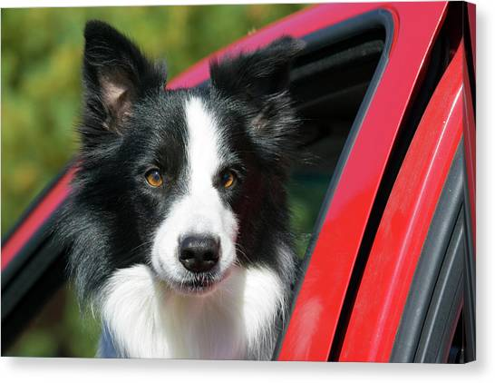 Border Collies Canvas Print - Purebred Border Collie Looking Out Red by Piperanne Worcester