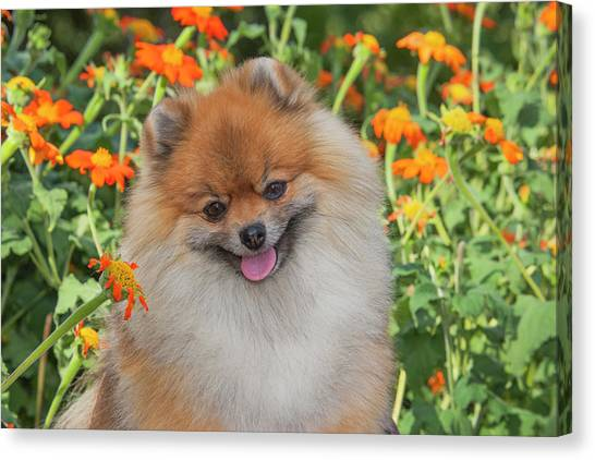 Pomeranians Canvas Print - Purebred Pomeranian Sitting Among by Piperanne Worcester