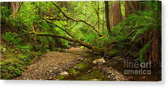 Redwood Forest Canvas Print - Purisima Creek by Matt Tilghman
