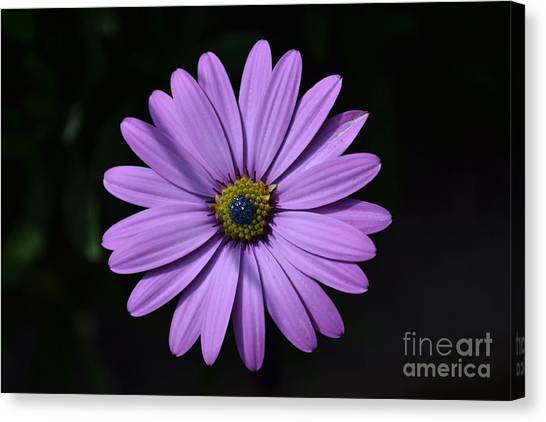 Purple African Daisy Canvas Print