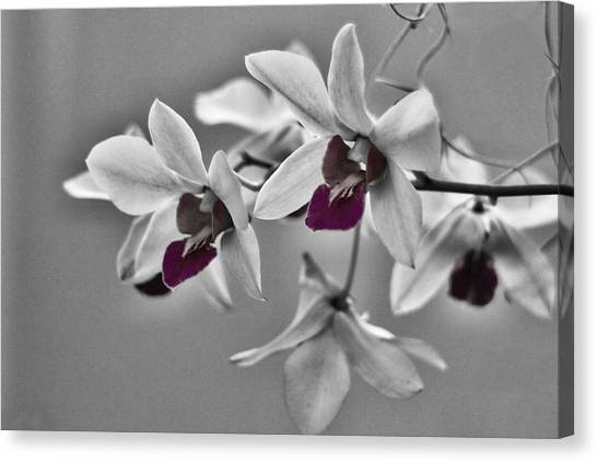 Purple And Pale Green Orchids - Black And White Canvas Print