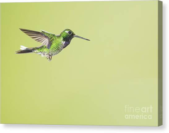Purple-bibbed White-tip Hummingbird Canvas Print