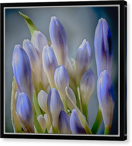 Purple Buds Canvas Print