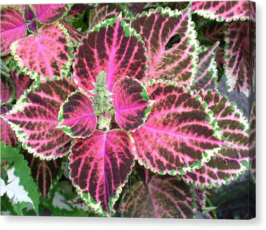 Purple Coleus With Seeds Canvas Print by Dusty Reed