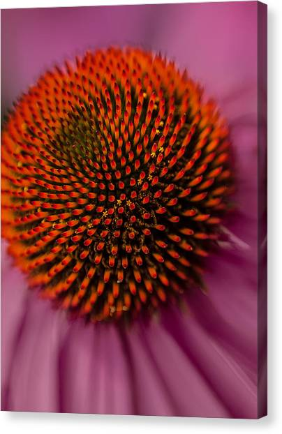 Purple Coneflower Canvas Print