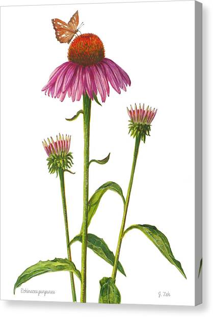 Purple Coneflower - Echinacea Purpurea  Canvas Print