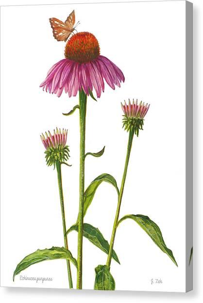 Purple Coneflower - Echinacea Purpurea  Canvas Print